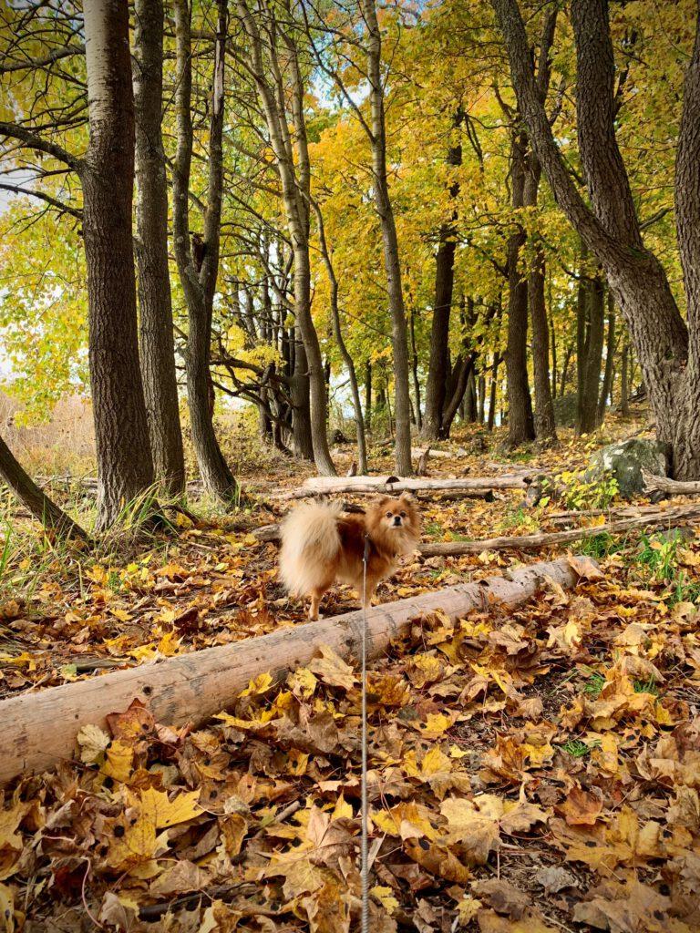ruskametsä, maassa keltaisia ja punaisia vaahteran lehtiä. Kuvassa myös pieni pystykorvainen ruskea koira (mittelspitz).