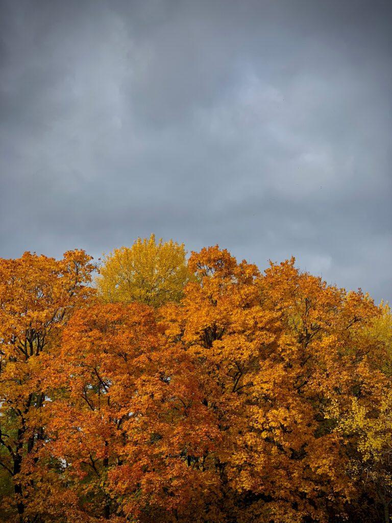 kuvan yläosassa tummahkoja syyspilviä, kuvan alaosassa keltaisia ja oransseja vaahteranlatvoja